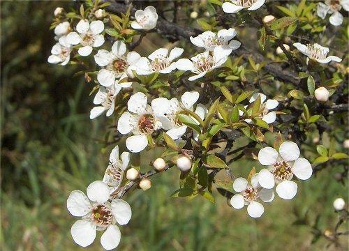чайное дерево фото