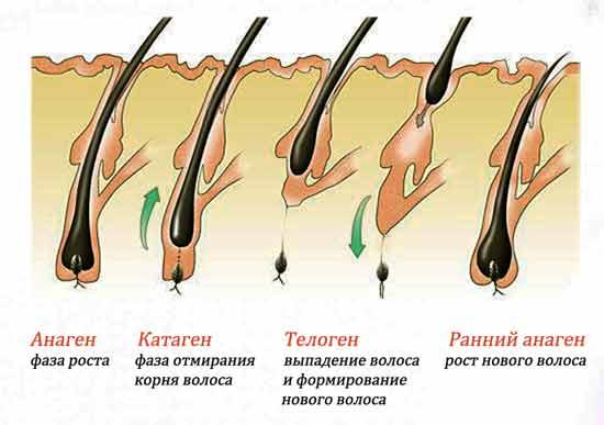 Этапы жизни волосяной луковицы